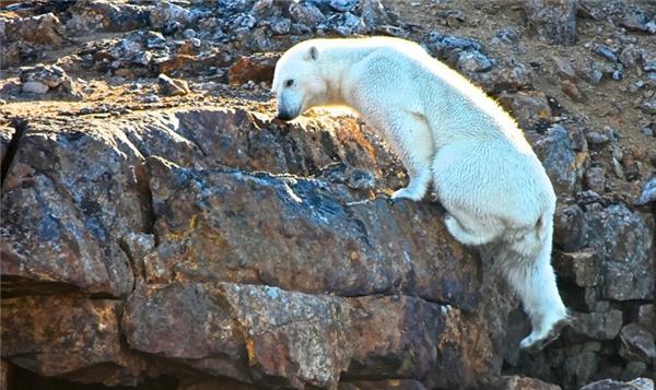 Con người đã đẩy gấu Bắc cực vào cảnh thảm khốc này đây